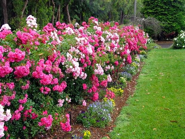 Mixed Varieties Of Flower Carpet Roses Serve As A Long Blooming Border Ideal In The Landscape Or Garden Rose Garden Design Rose Garden Landscape Rose Hedge