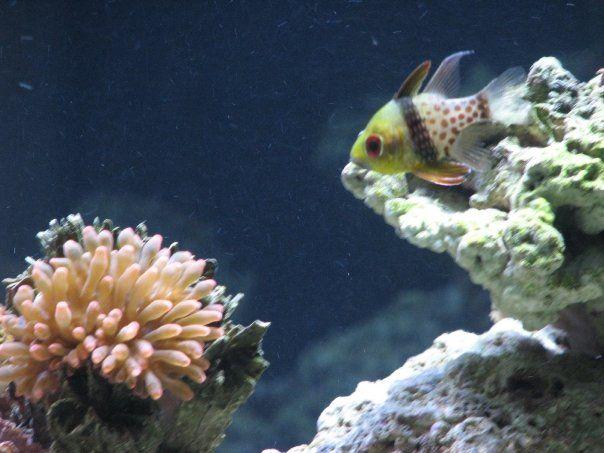 Pajama Cardinal Salt Water Fish Saltwater Aquarium Fish Pet