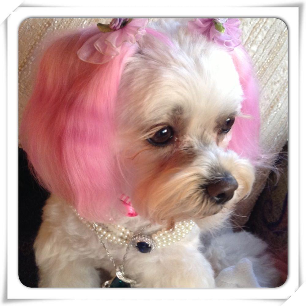 90210 dog maltipoo maltipoo my princess princess