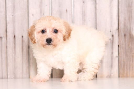 Poochon Puppy For Sale In Mount Vernon Oh Adn 43882 On