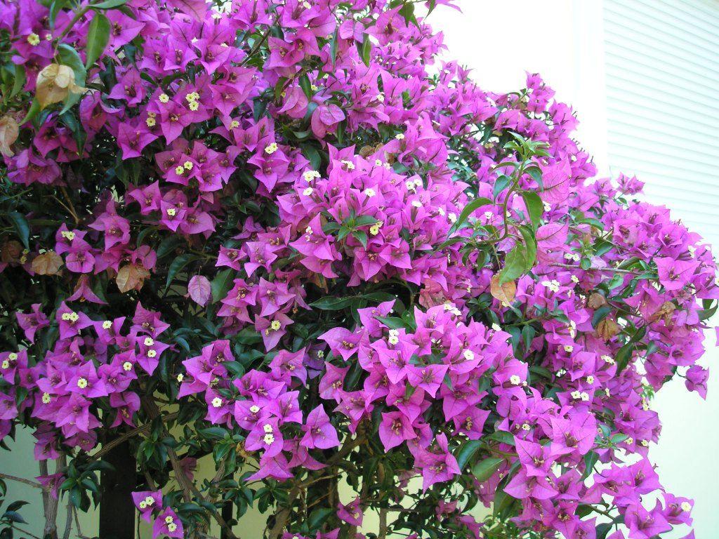 Granada paper flower, lesser bougainvillea / buganvilla