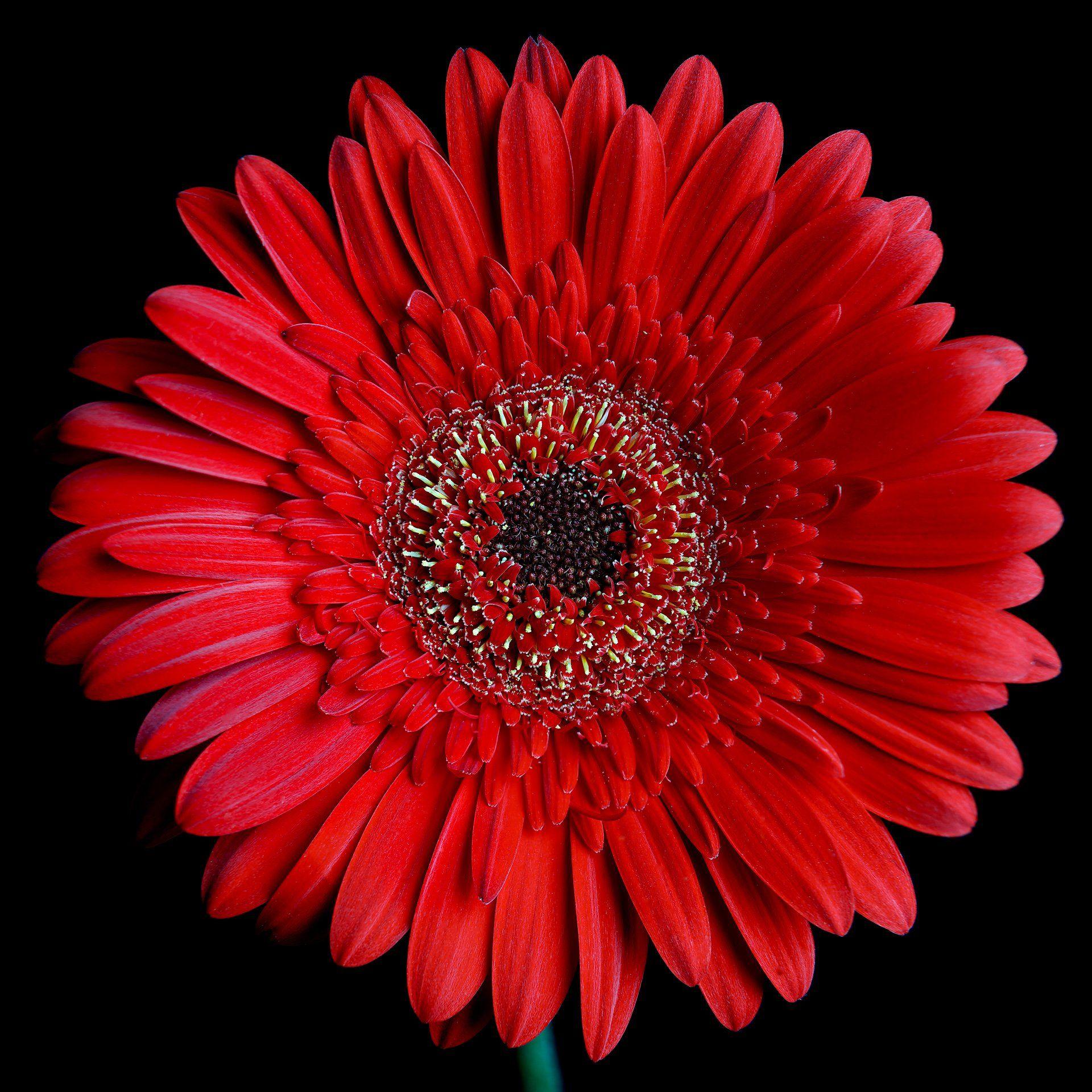 Super Duper Daisy Beautiful Flowers Wallpapers Red Roses Wallpaper Gerbera Flower