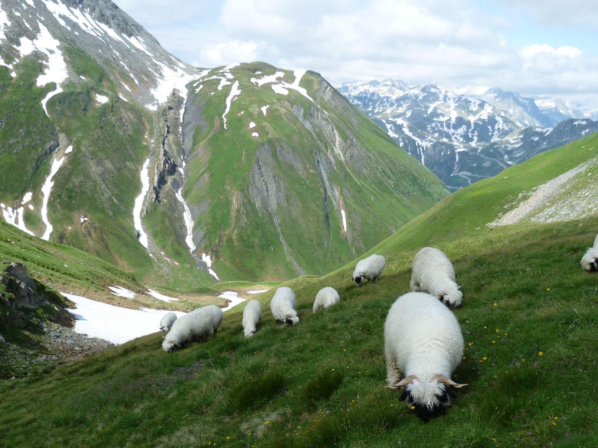 Картинки альпийских гор с животными