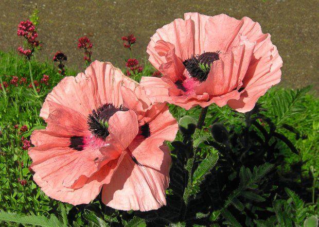 Kalendarz Prac Ogrodniczych Czerwiec W Ogrodzie Papaver Plants Natural Beauty