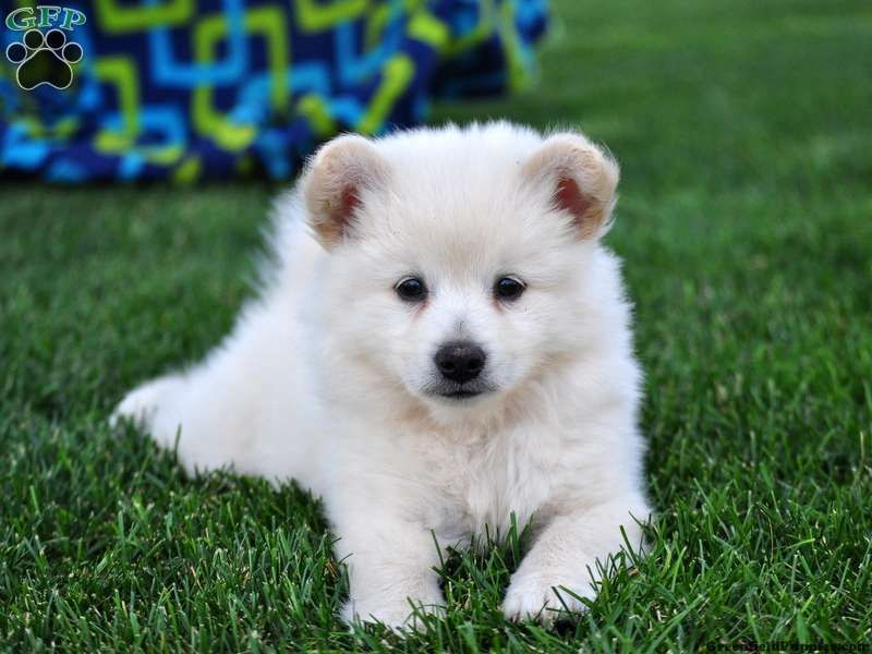 Snowball Eskipom Puppy For Sale In Pennsylvania Greenfield