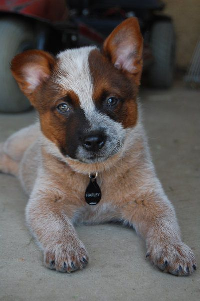 Harleywood Wrapped In Red By Danceswithponies On Deviantart Cattle Dog Puppy Healthiest Dog Breeds Heeler Puppies