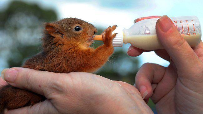 Squirrel Drinking Milk Baby Squirrel Squirrel Cute Squirrel