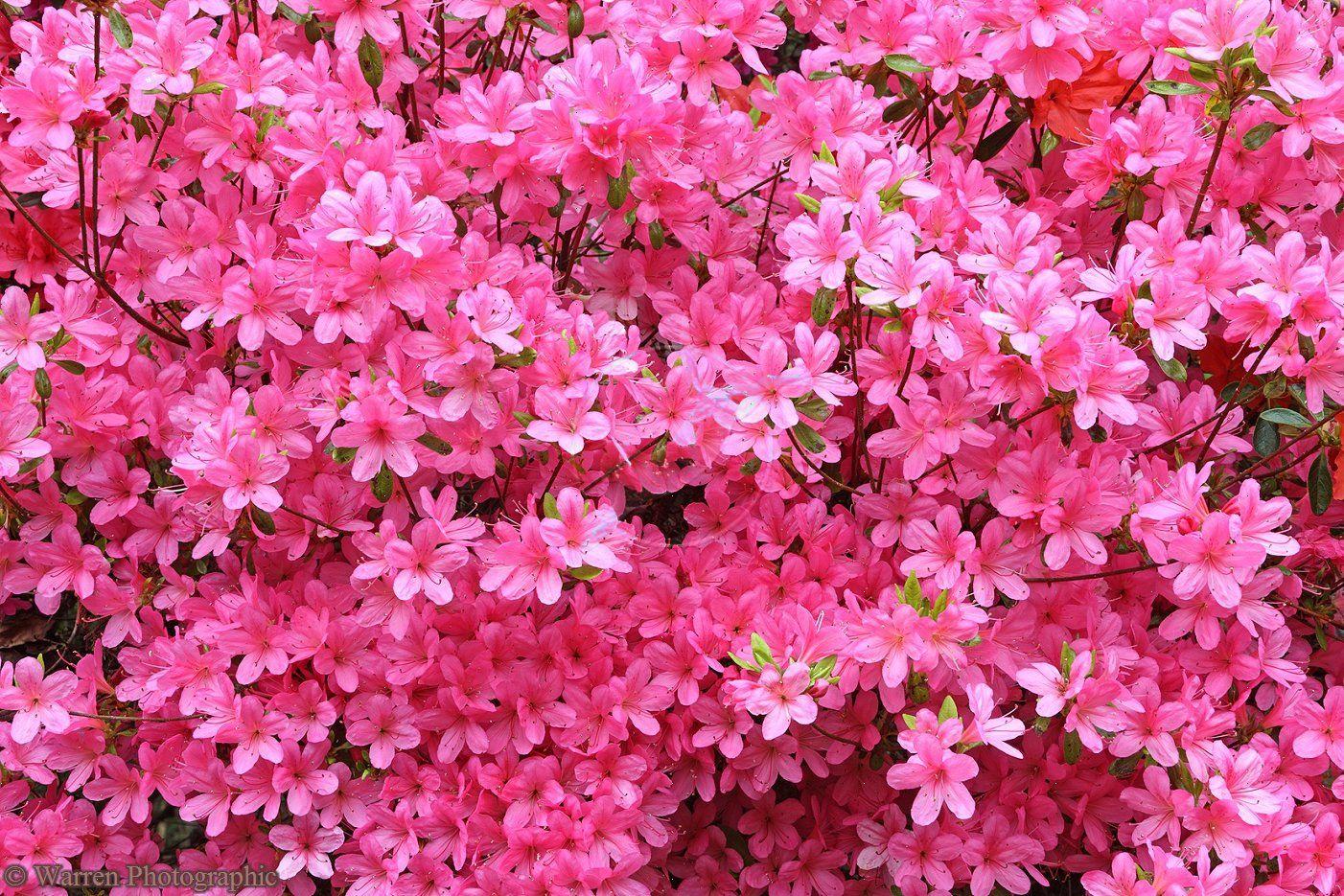 Pink Azalea Flower Pink Azaleas Flower Images