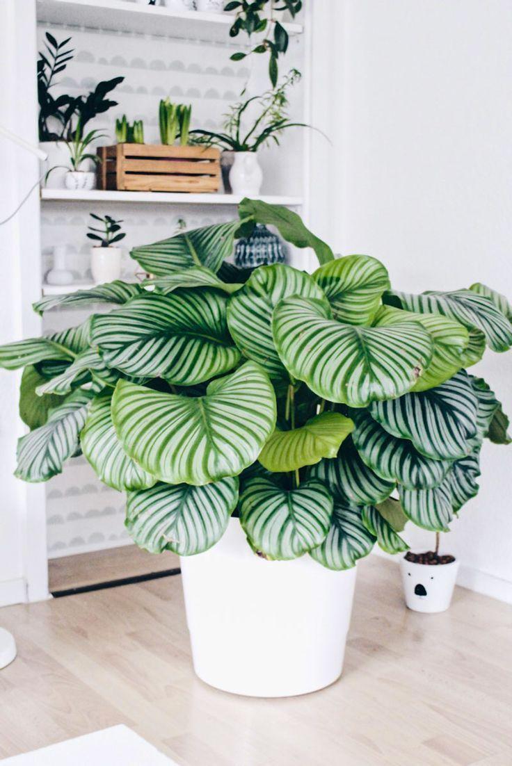 Calatheaenmacetablanca Decoracion plantas, Plantas en