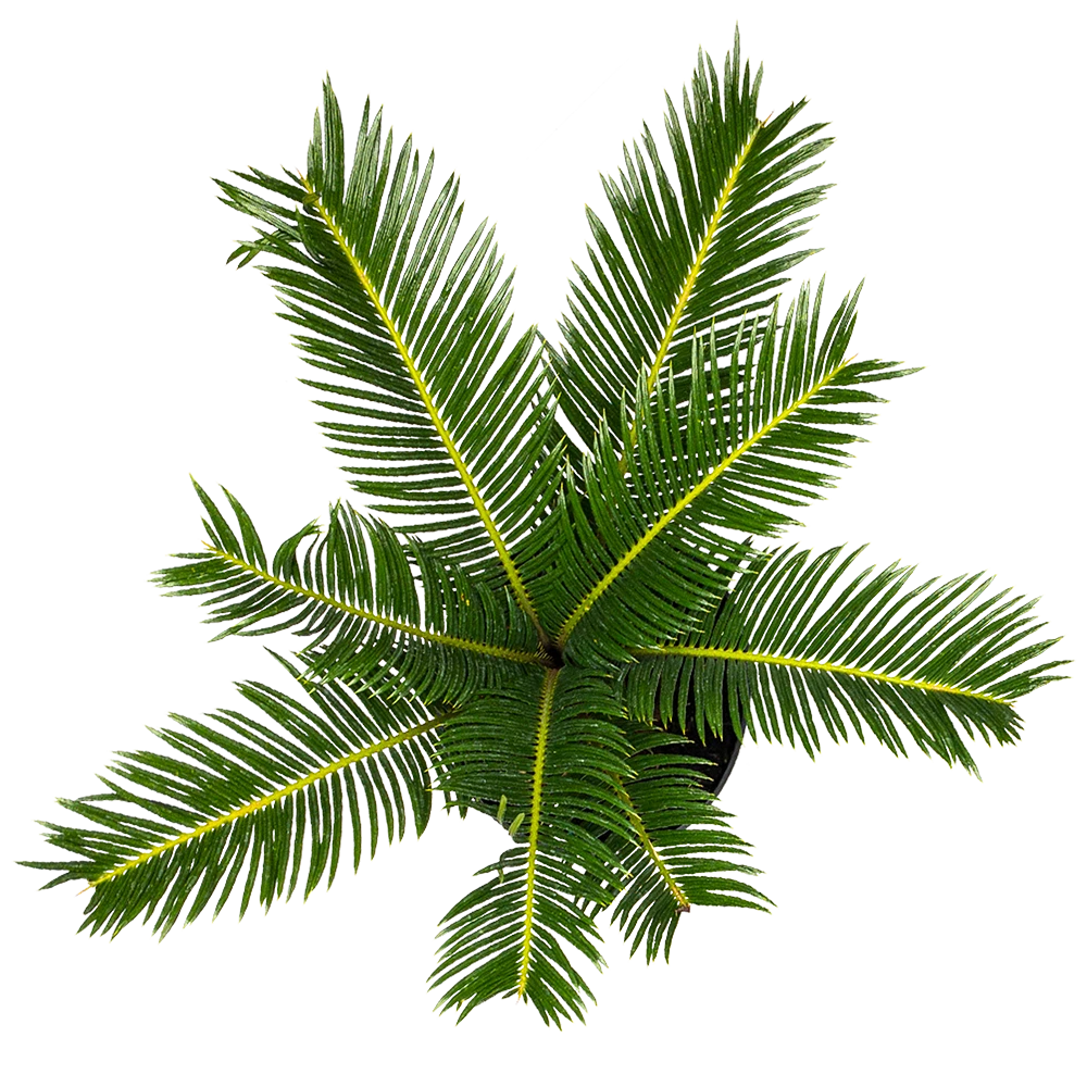 Buy Sago Palm Direct From The Greenhouse Planterina Com Planterina Sago Palm Trees Top View Tree Plan Png
