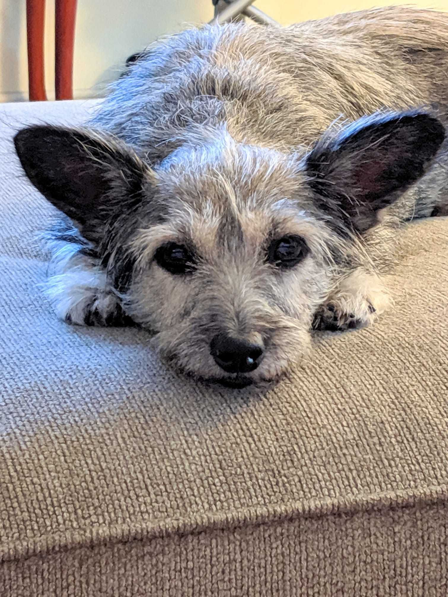 Adopt Dillie On Terrier Mix Dogs Cairn Terrier Mix Homeless Dogs