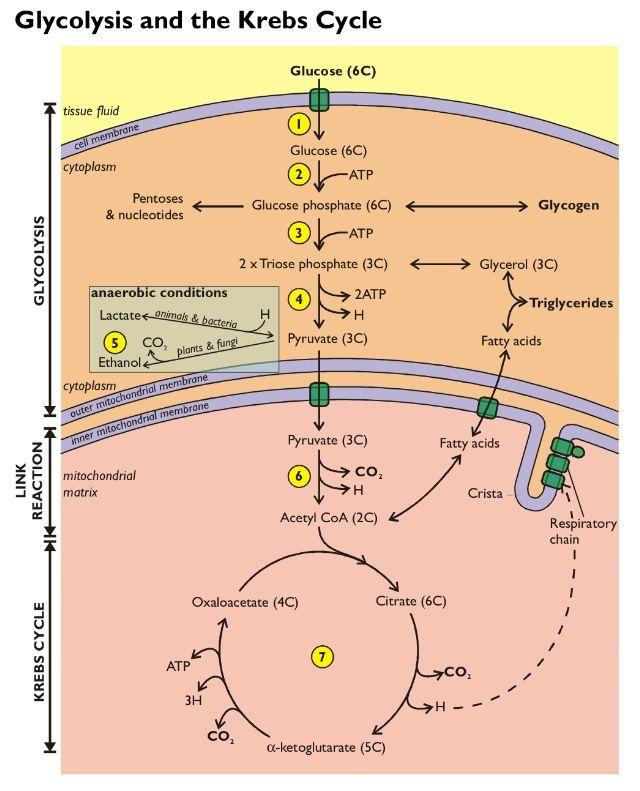 Respiration Teaching Biology Biochemistry Biology