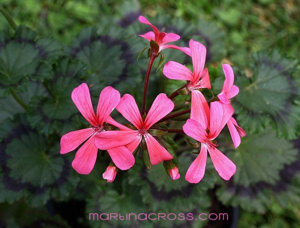 Pelargonie Pelargonium Pelargoner Geranium Dresden Pink