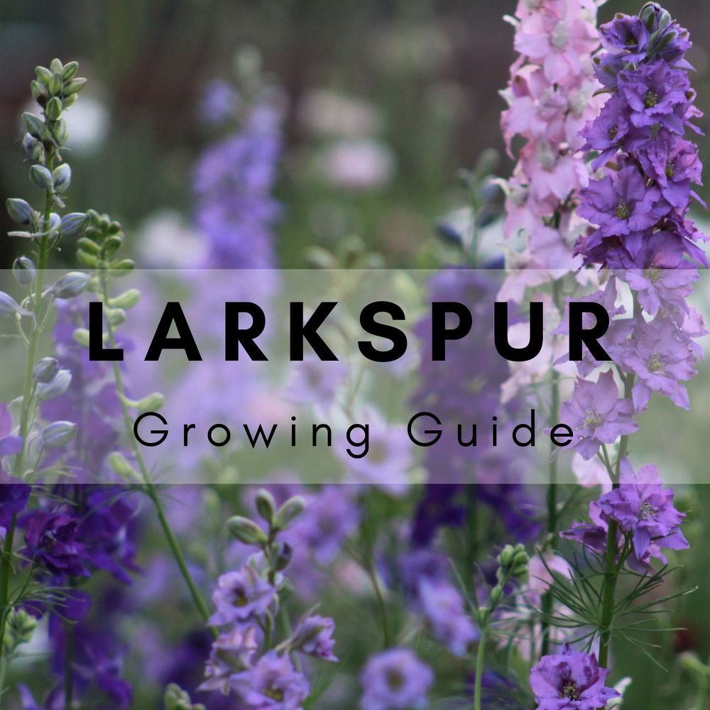 How to grow beautiful larkspur from seed for gorgeous annual blooms larkspur are one of the most attention grabbing hardy annual flowers that i plant in my garden the early spring color not only get me excited for warmer izmirmasajfo