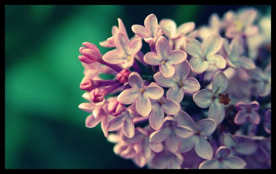 Floral Photography Lilacs Blossoms  Purple by DragonflyPhotography, $35.00