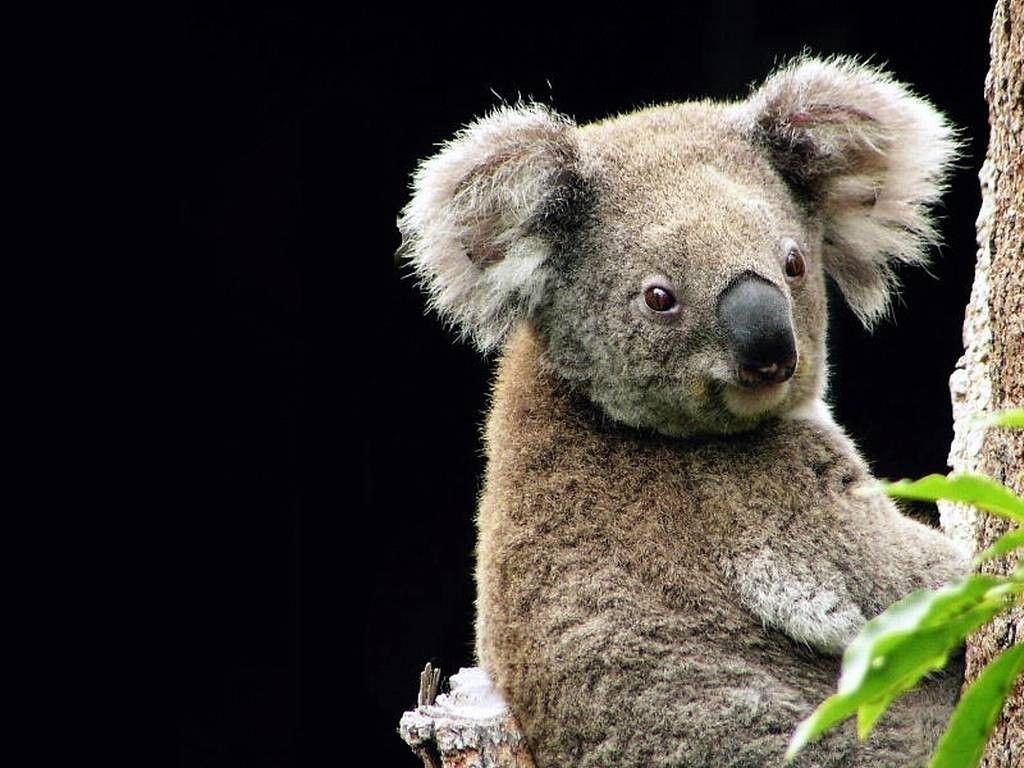 Pin By Mark On Dieren Koala Pictures Koala Koala Bear Cute koala hd wallpapers