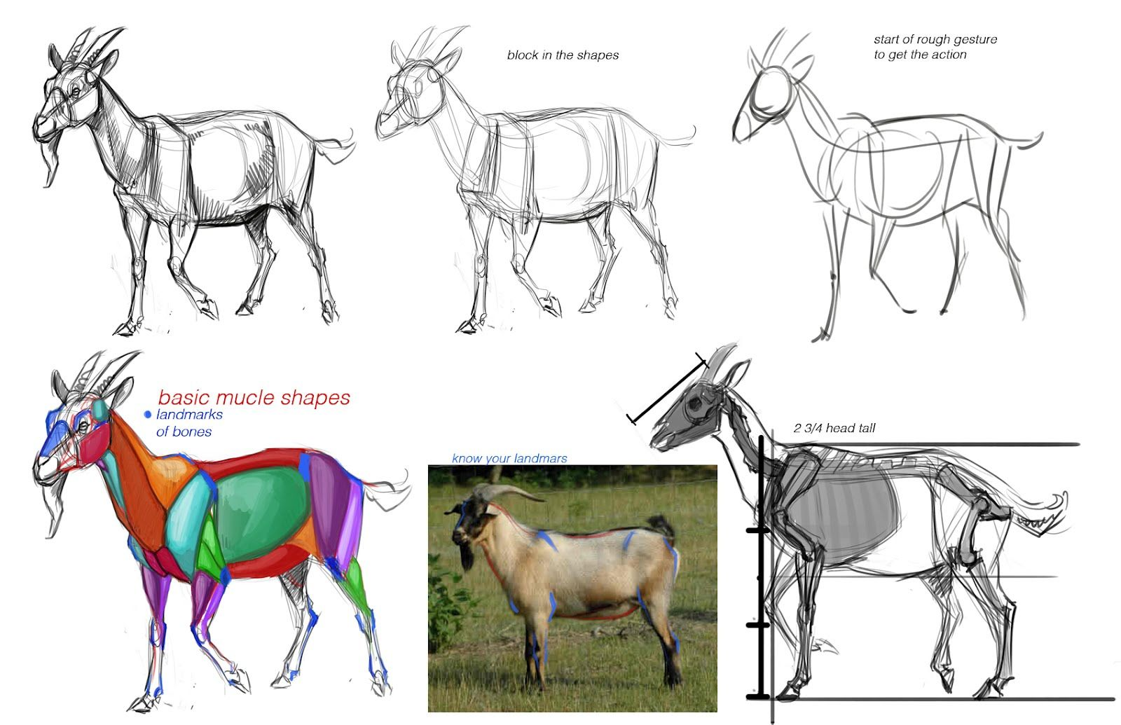 Goat Anatomy Artist Reference. | Animal | Pinterest | Character ...