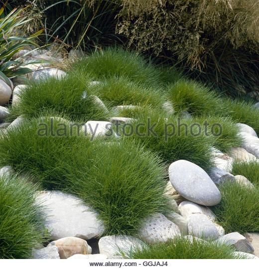Festuca Gautieri Syn F Scoparia Gra045444 Ggjaj4 Jpg 520 540 Garten Japanischer Garten Steingarten