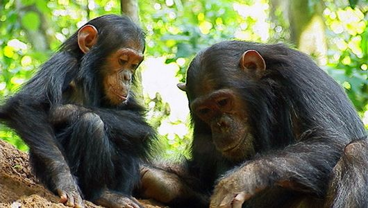 mothernaturenetwork:  Captive chimps may get endangered status in U.S.The proposed rule would have implications for privately held chimpanzees and those used in animal testing.