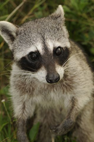 The Cozumel Raccoon is a critically endangered species of raccoon endemic on Cozumel Island off the coast of the Yucatan Peninsula, Mexico.  Its endangerment is caused primarily by development of the island by the tourism industry.