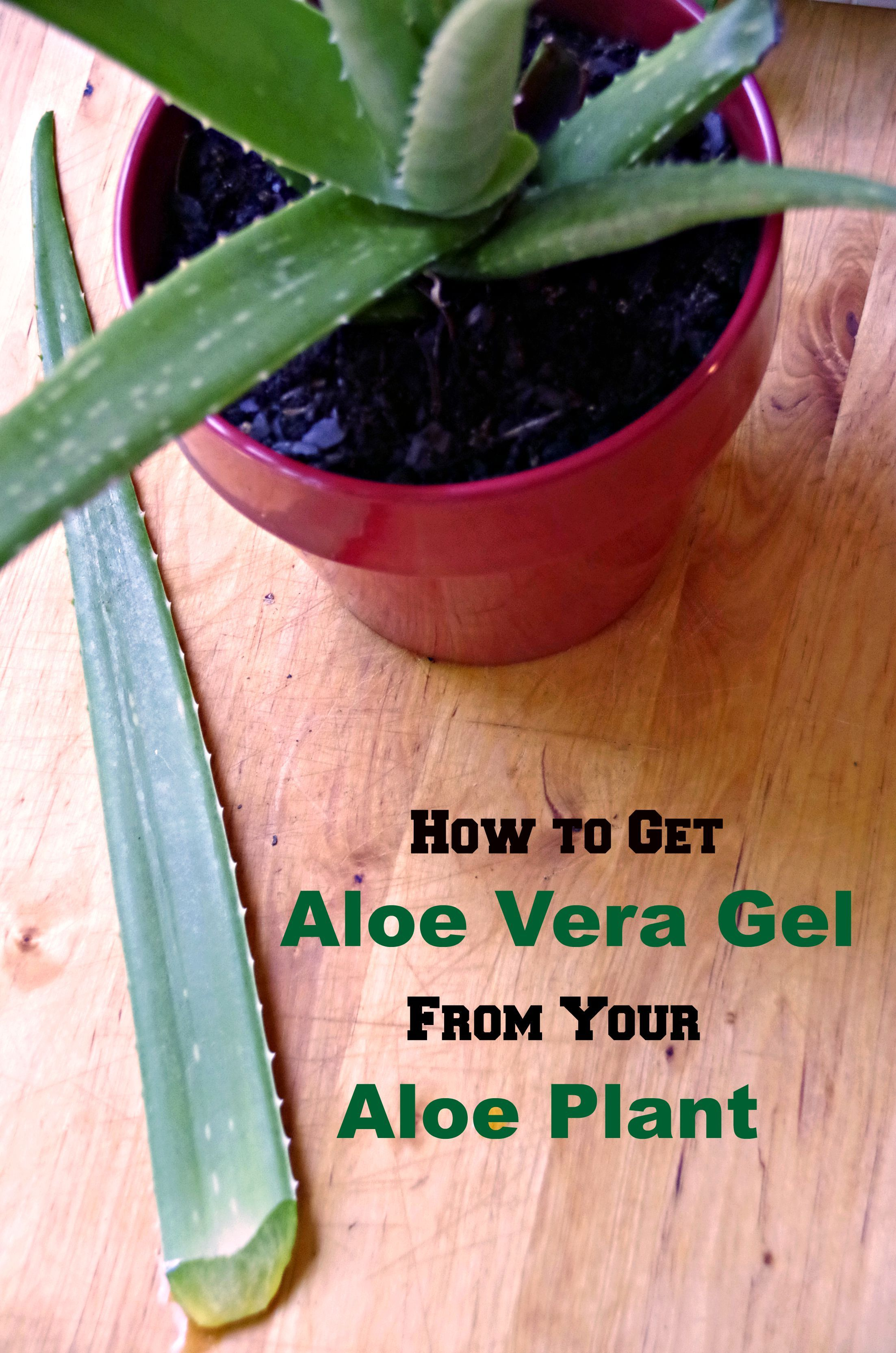 How To Get A Start From Aloe Vera Plant