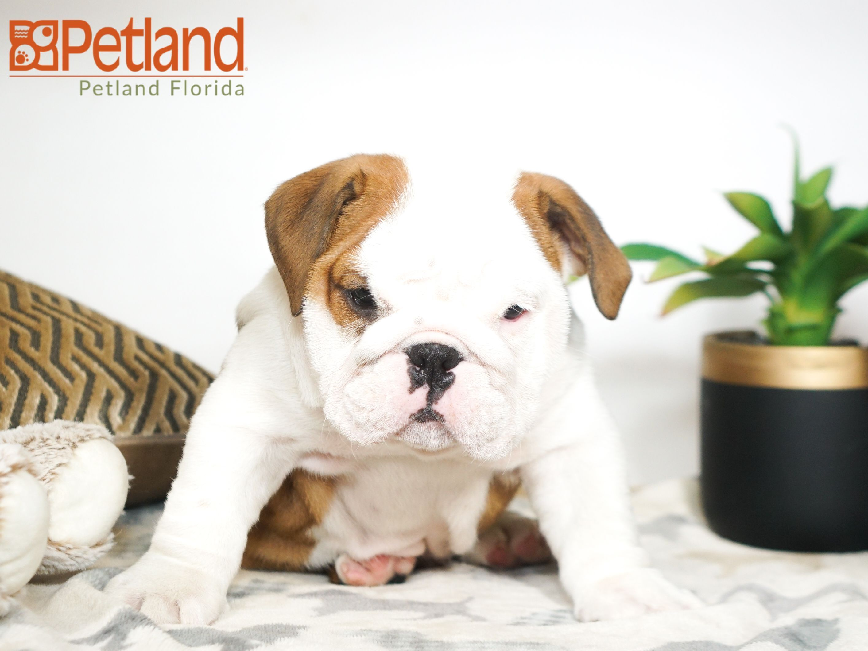 Olde English Bulldog Puppies For Sale In Florida