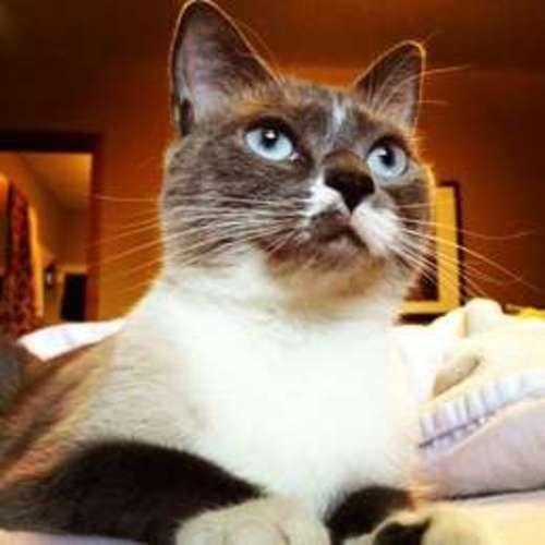Juno Snowshoe Siamese Cat Locust Dale Va Snowshoe Siamese