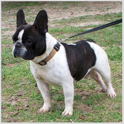 Frenchton French Bulldog Boston Terrier Mix Info Temperament