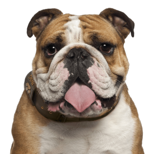 English bulldog English bulldog, Bulldog, English