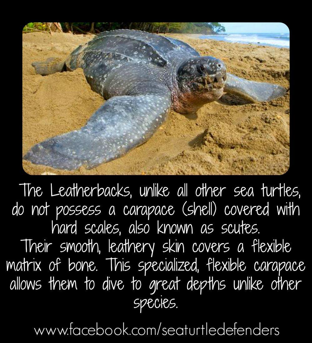 Sea Turtle Defenders Sea Turtle Marine Biology Turtle