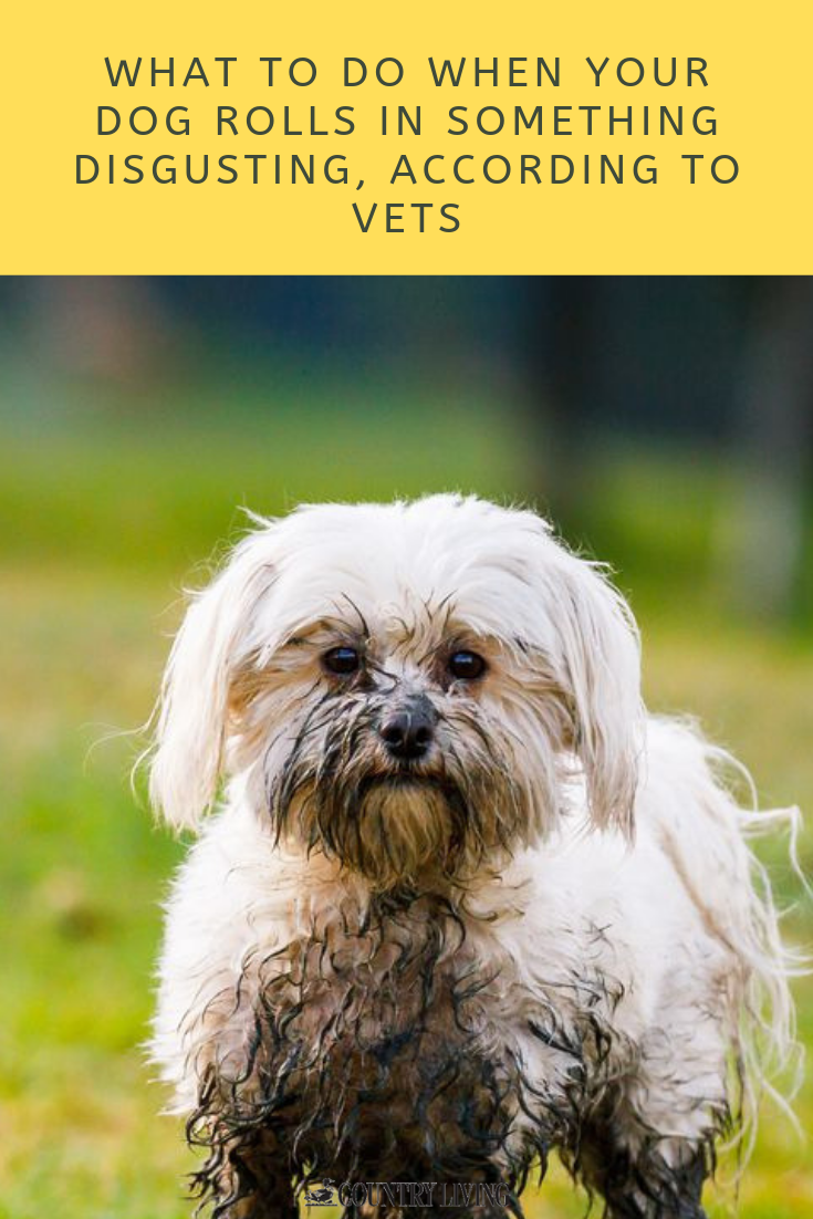What To Do When Your Dog Rolls In Something Disgusting According To Vets Dogs Dog Advice Vets