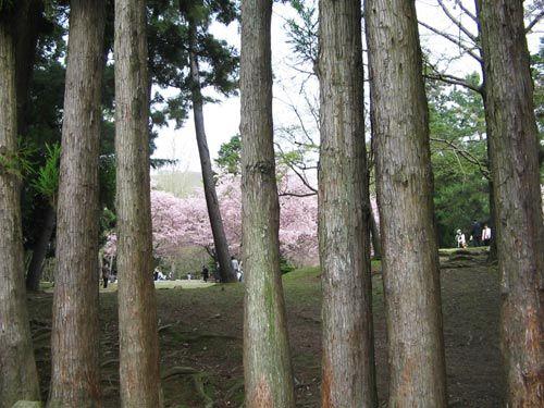 桜吹雪 | なら散策日記【鹿と亀と猫と犬の日々】