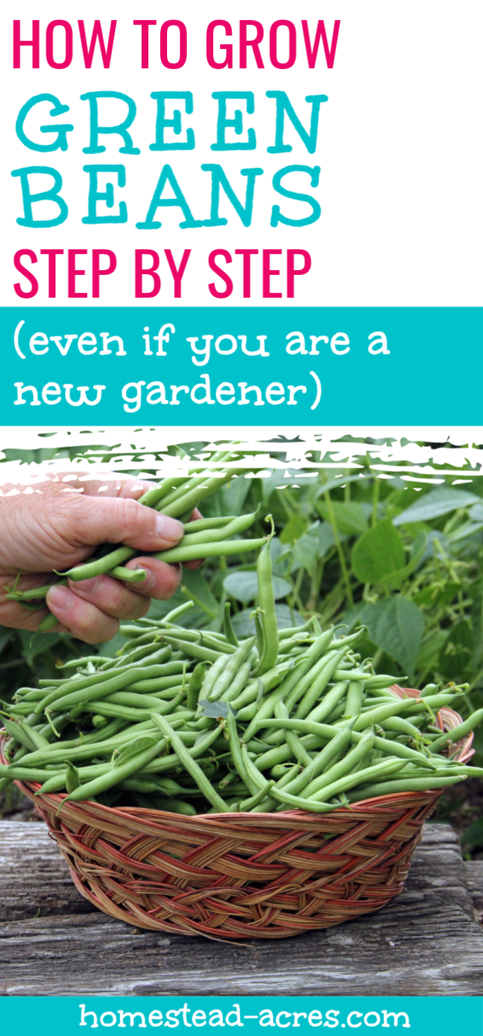 How To Grow Green Bush Beans For A Successful Harvest Growing Green Beans Bush Beans Green Bean Seeds