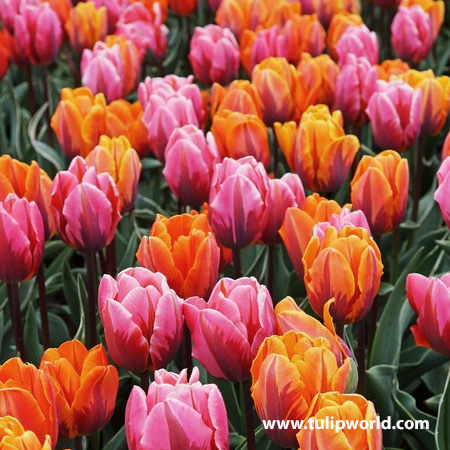 Mmmmm Fruity Sherbert This Delicious Combination Of Two Toned Pink And Orange Mid Spring Blooming Tulips Is Like A Won Planting Tulips Fall Bulbs Bulb Flowers
