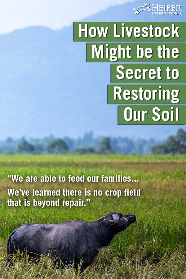 How Livestock Might Be the Secret to Restoring Our Soil