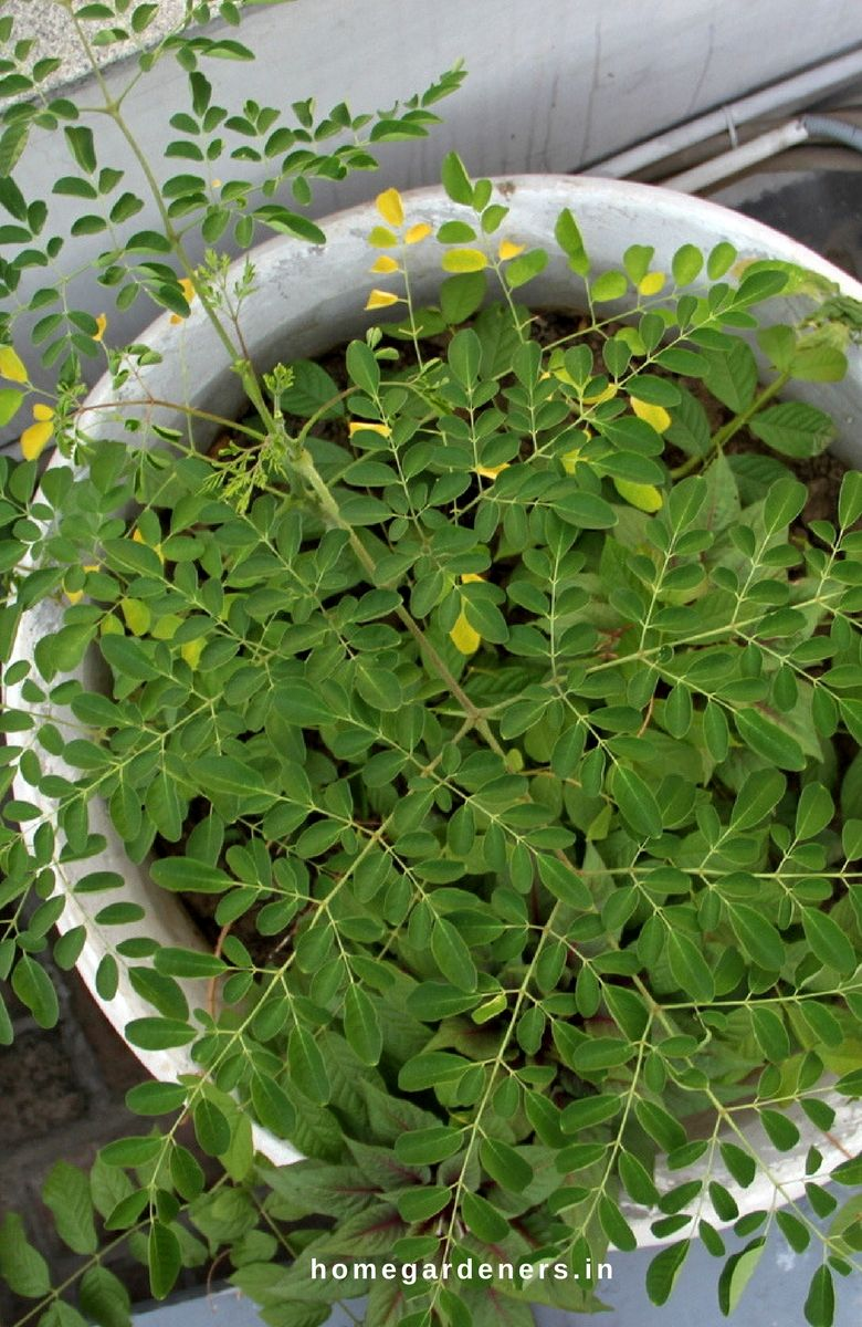 Pot Size Doesn T Matter As You Are Ready To Shift Outdoors When The Moringa Plant Grows To A Certain Height But For Seed St Moringa Tree Seed Starters Moringa