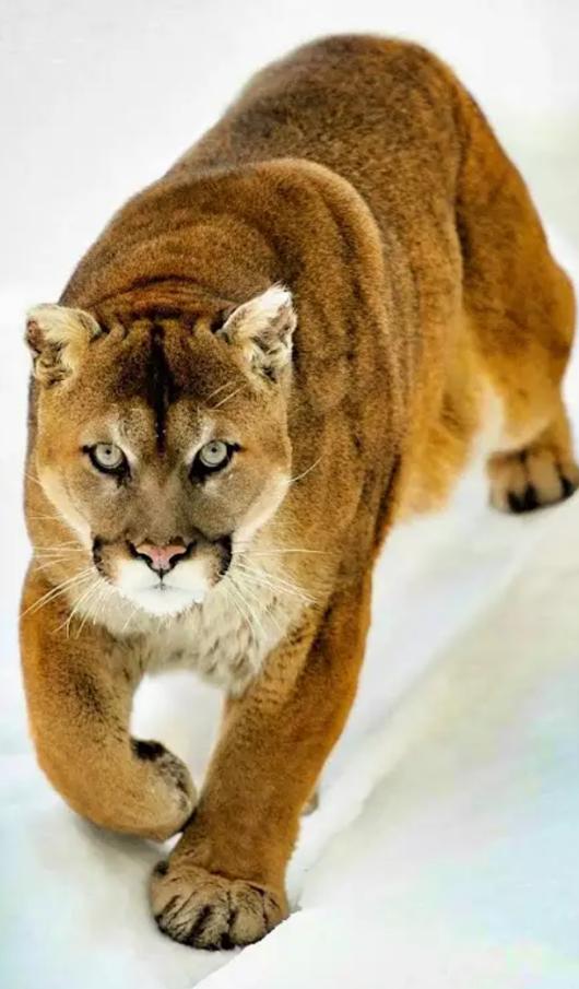 Beautiful Mountain Lion Wild Cats Beautiful Cats Majestic Animals
