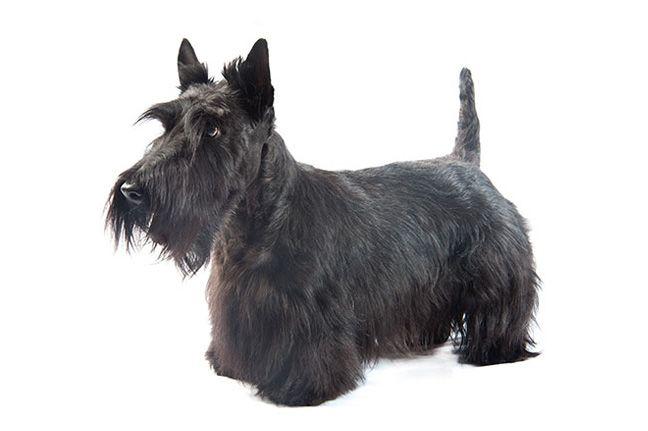 Scottish Terrier Dog Breeds Low Shedding Dog Breeds Scottish