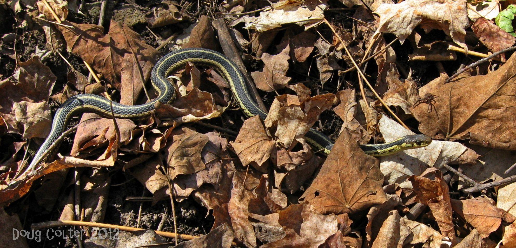 Garter Snake Sometimes Called Garden Snake Or Gardener Snake