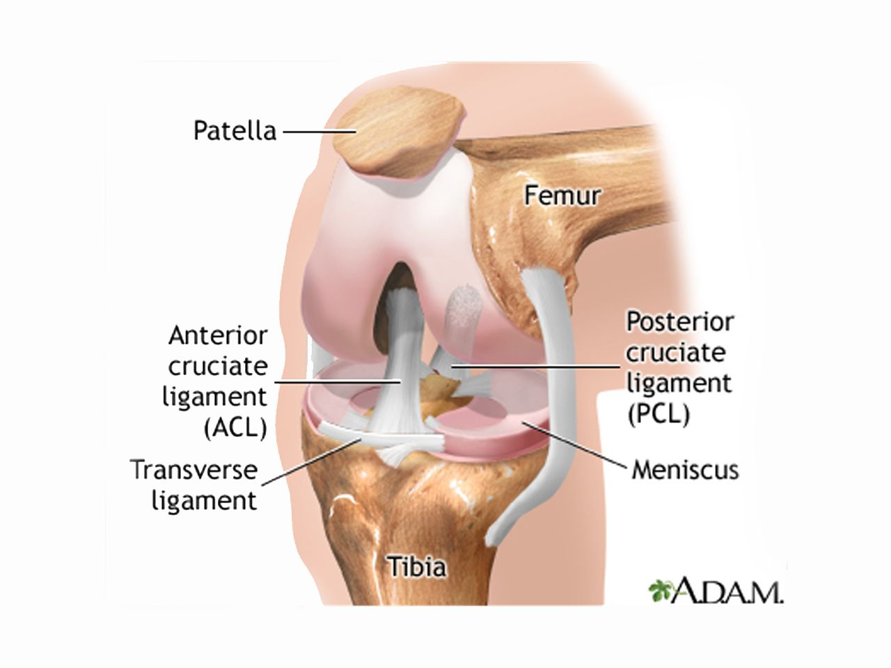 Torn meniscus treatments physical therapy just as good as surgery about one third of people over 50 have a tear in one meniscus cartilage pooptronica