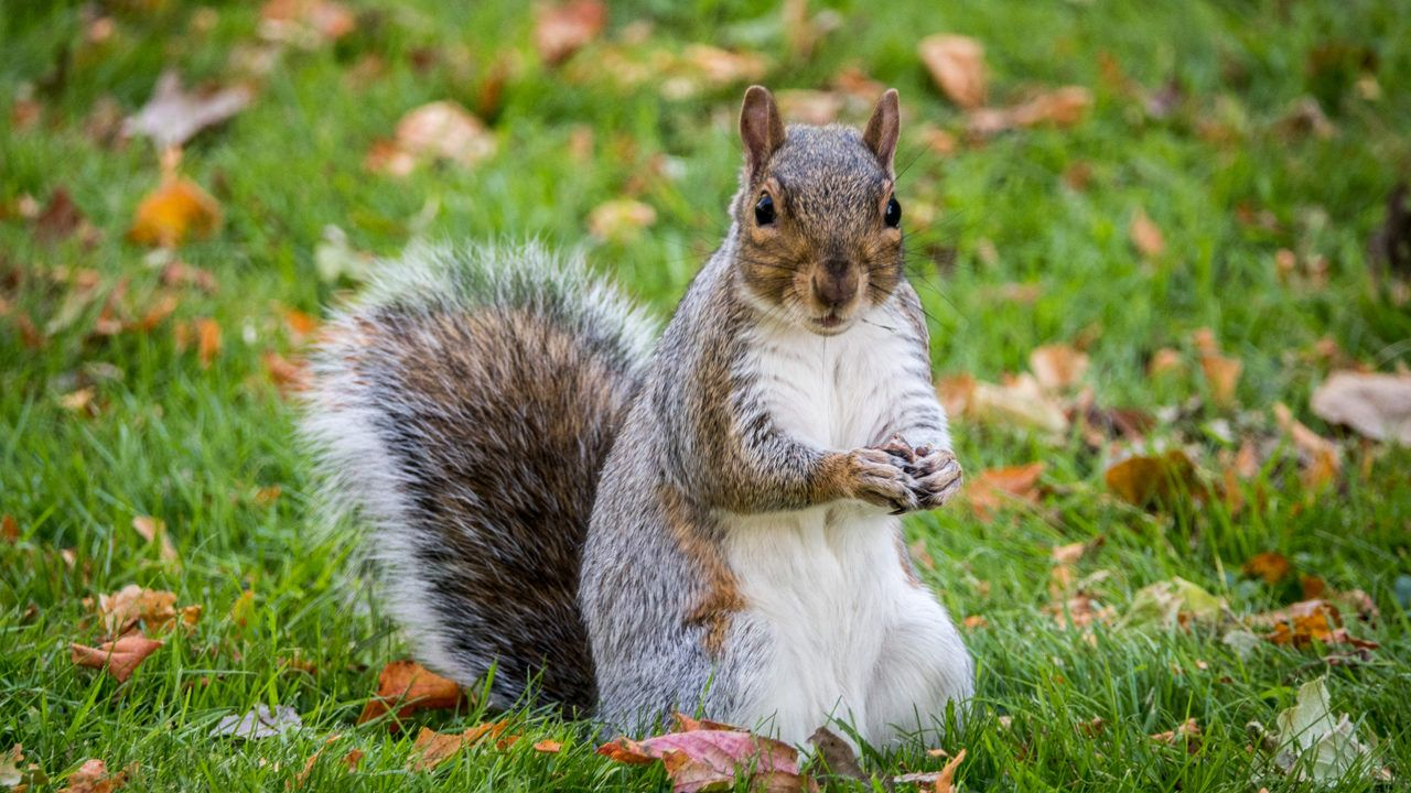 Woman with 'emotional support squirrel' removed from plane