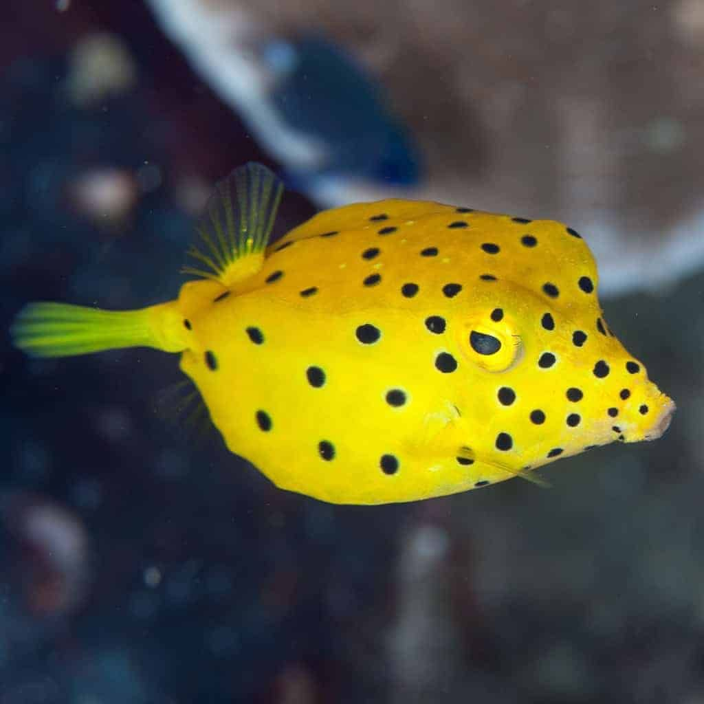 Pin On Boxfish