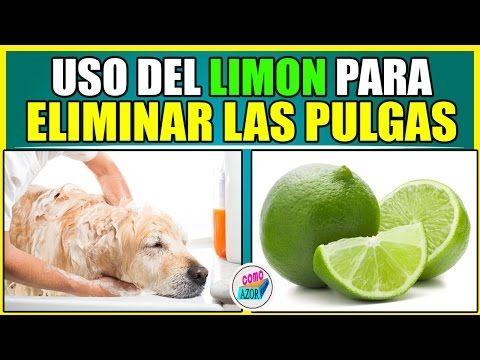 Como Acabar Con Las Pulgas En El Jardin Uso Del Limon Para Eliminar Las Pulgas Youtube Pulgas Y