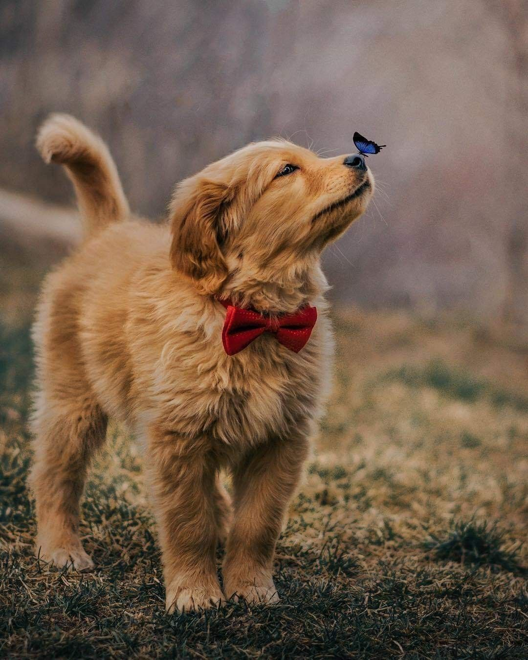 Golden Retriever And Butterfly Cute Baby Animals Puppies