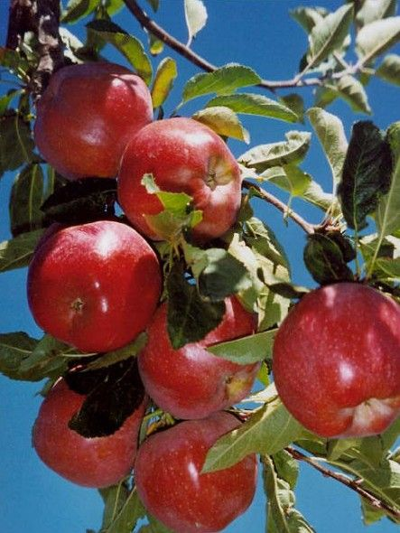 Container Grown Fruit Trees Variety Selection Is One Of The Most Important Steps When Growing