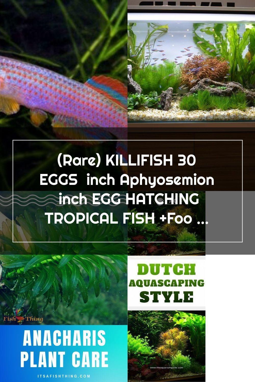 Rare killifish 30 eggs inch aphyosemion inch egg