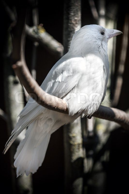6909642 White Albino Crow Sits On Tree In The Forest Classical