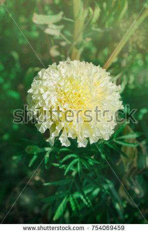White pastel marigold in the garden marigold flower in white tone white pastel marigold in the garden marigold flower in white tone white tagetes growing mightylinksfo