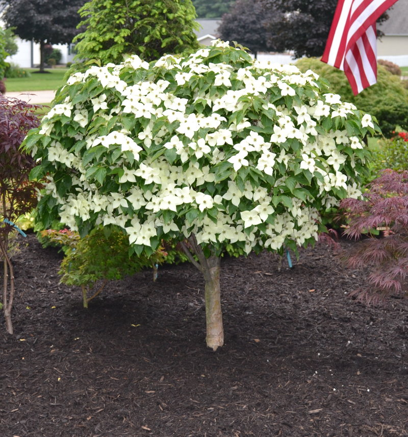 How To Propagate And Grow Milky Way Chinese Dogwood Trees
