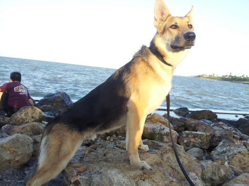 Roscoe My 9 Month Old German Shepherd German Shepherd Dogs Dogs Shepherd Dog